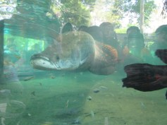 Ikan Gede