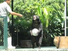 Beruang Main Bola