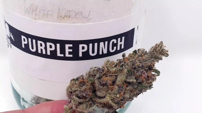 Purple Punch, Purple Punch Cannabis Strain Review & Information