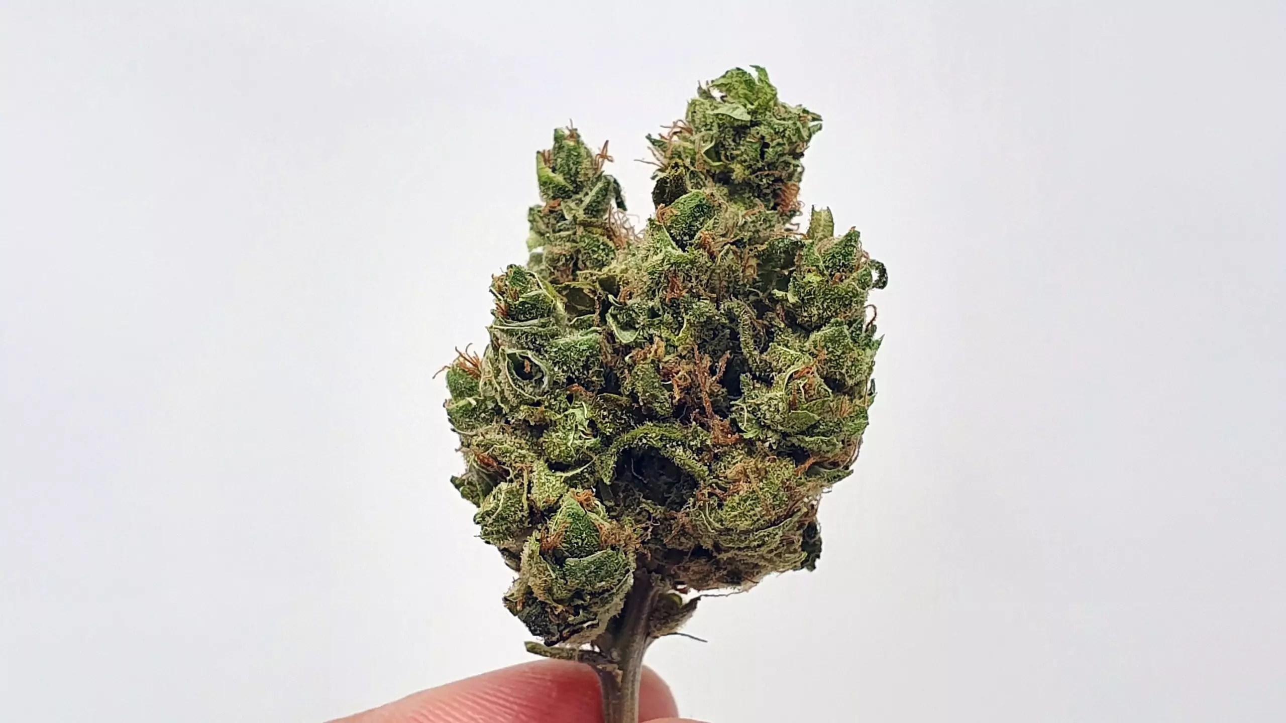 UGORG 1 strain review