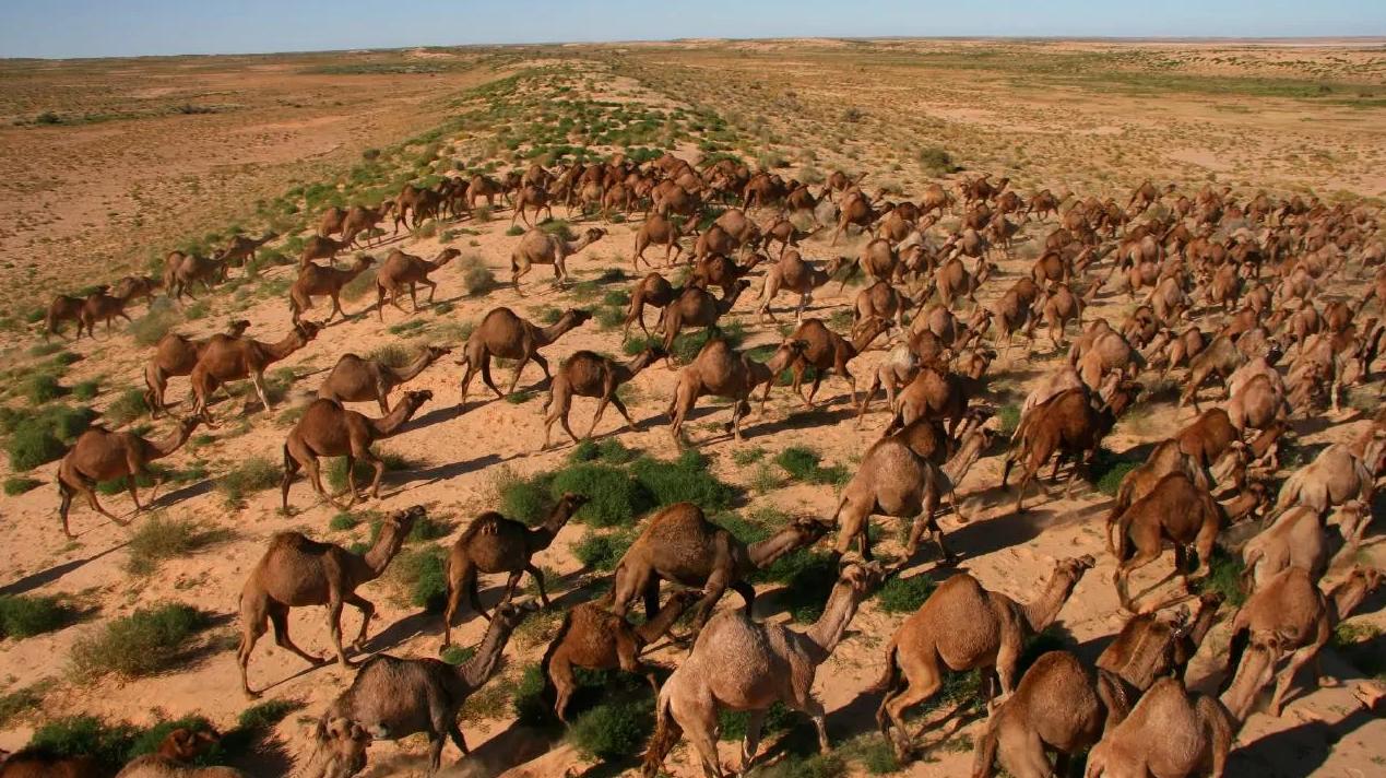 """Australia: Más de 10.000 camellos salvajes serán sacrificados por """"consumir demasiada agua"""""""