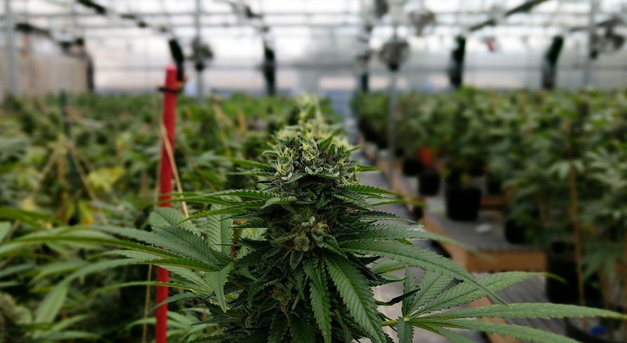 México: Senado aprueba legislación para el uso recreativo del cannabis