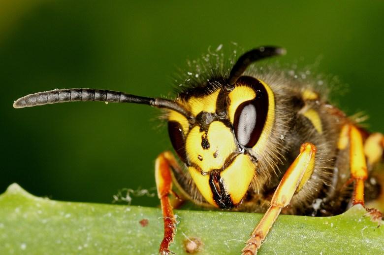 Stock Wasp