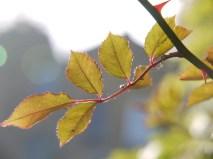 Rose Leaves in Profile