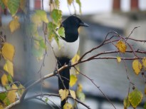 Magpie in profile