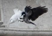 Taube und Rabe angelus