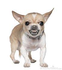 Chihuahua enojado