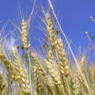 Unkräuter und Weizen