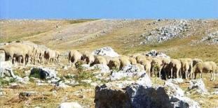 Sheep anatolia