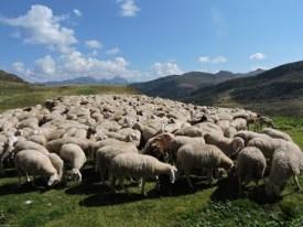 ovejas Anatolia 2