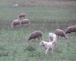 anatolia de ovejas