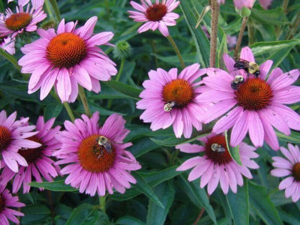 content_51-600x450 | Цветок здоровья, который поможет и взрослым и детям!