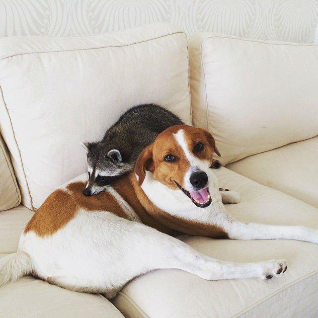 enot-kotoryj-tverdo-ubezhden-chto-on-sobaka-milejshee-zrelishhe_024   Этот енотик думает, что он родился собакой - посмотрите, как он себя ведет!