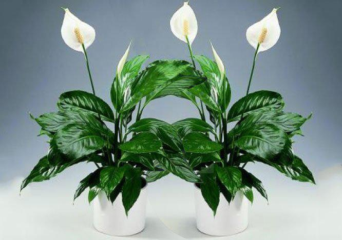 image10-13 | Известный экстрасенс поведала какие цветы приносят удачу и счастье в дом!