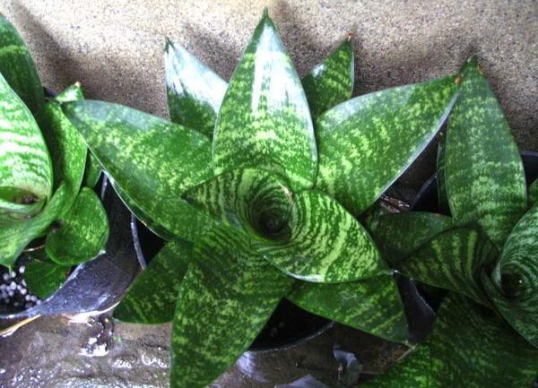 sansevieria | Комнатные растения, которым не требуется много света!