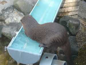市川市動植物園のカワウソの気持ちよさそうな泳ぎ