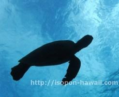 ハナウマ湾でウミガメ