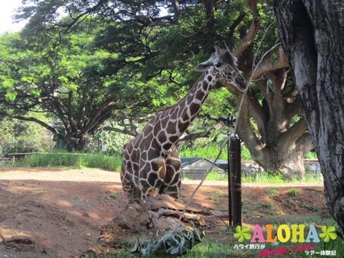 ホノルル動物園内20キリン画像