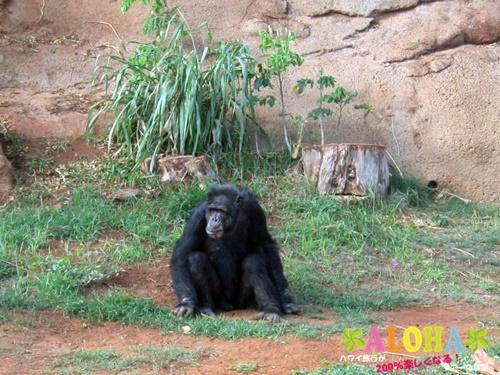 ホノルル動物園内24チンパンジー画像