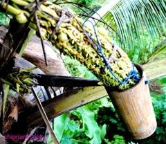 nderes - pengambilan Nira kelapa untuk Gula Merah