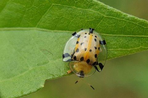 Serangga Kepik difoto secara makro