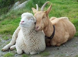 Are you a sheep or goat?