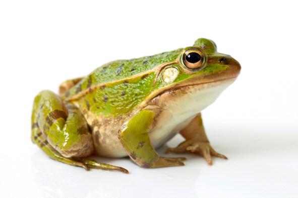 Frog