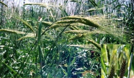 Wild emmer wheat