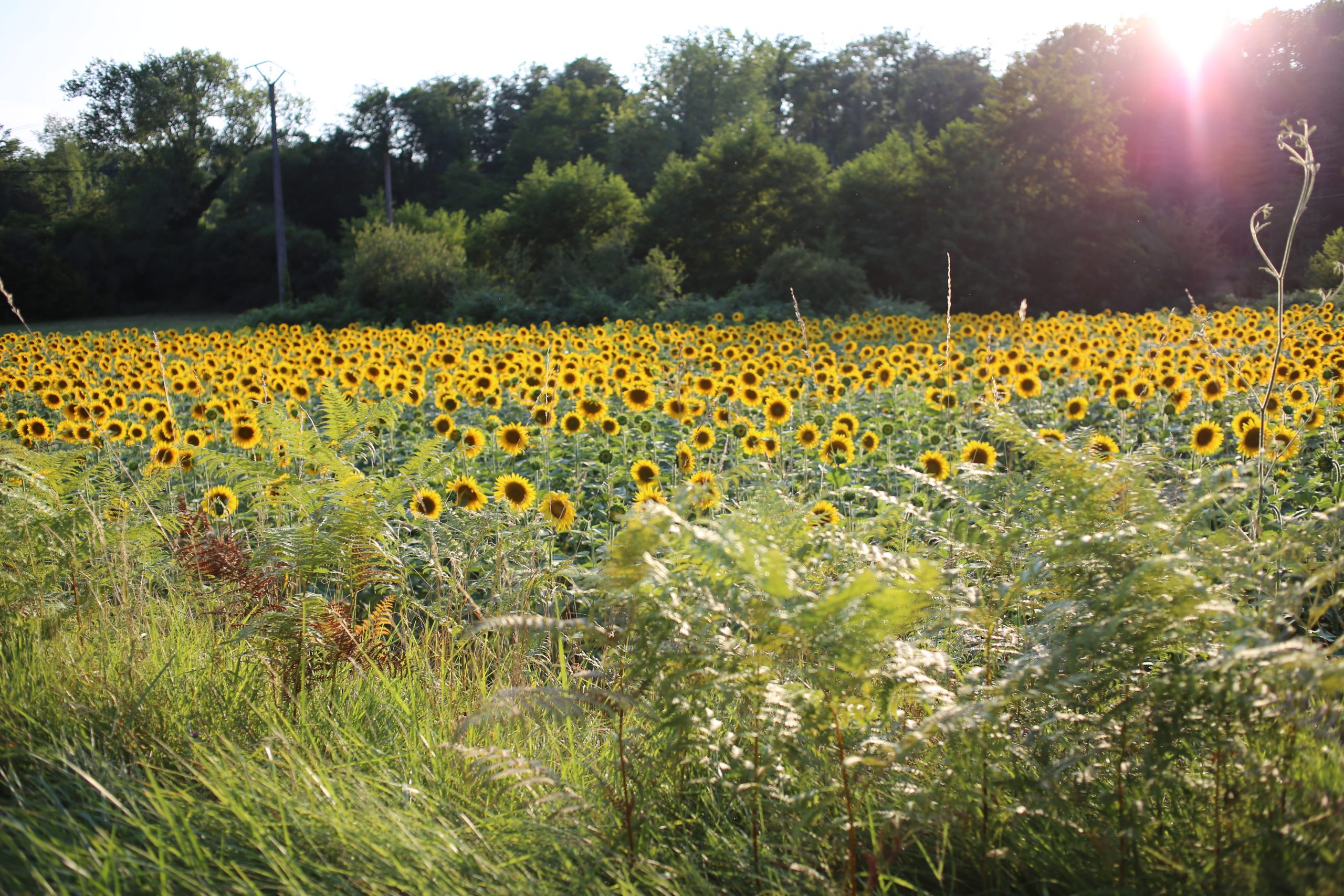 Just like sunflower is a natural factory transforming solar energy into chemically held energy of sunflower oil, Israel could be a natural hydrogen-producing economy