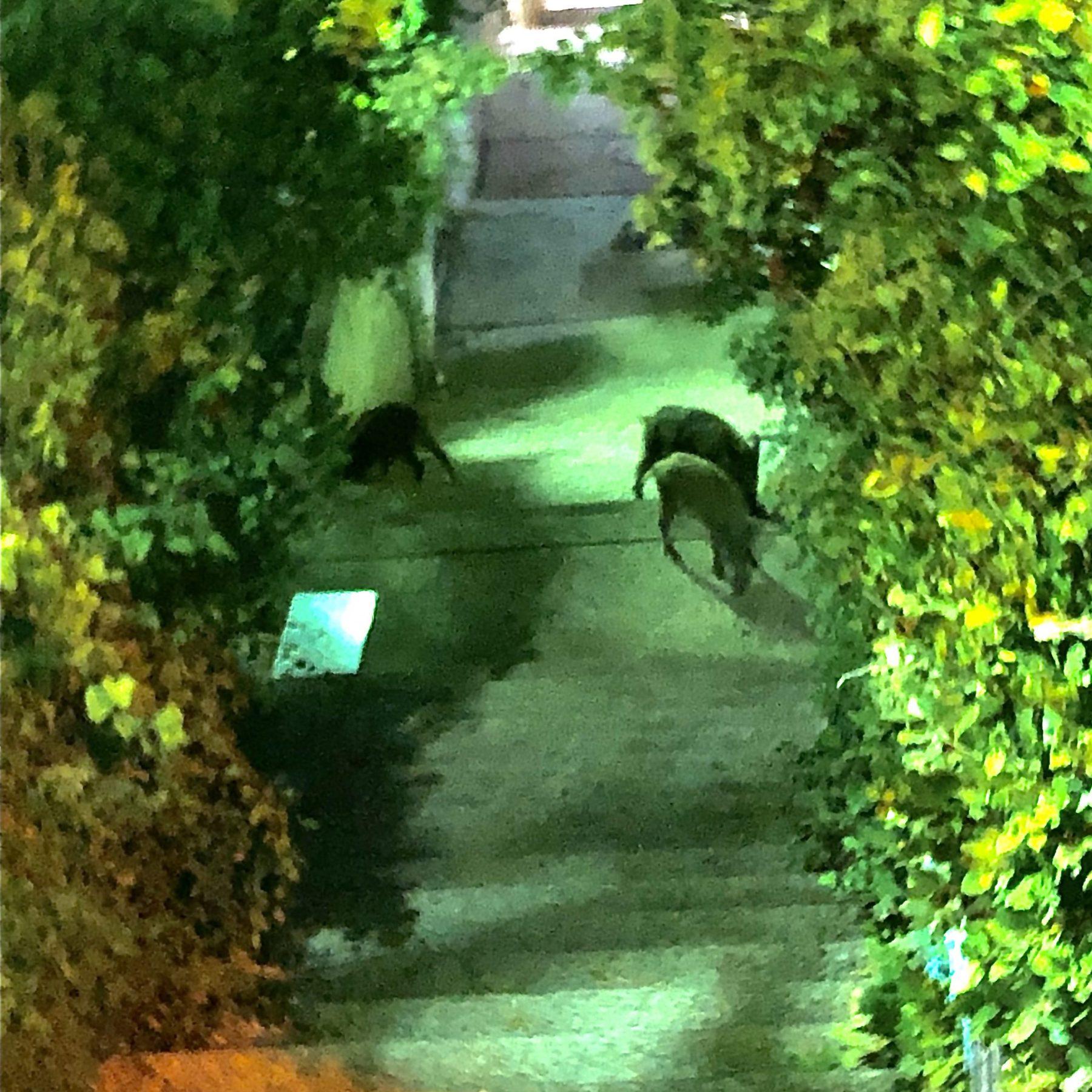 Wild hogs roaming Haifa streets