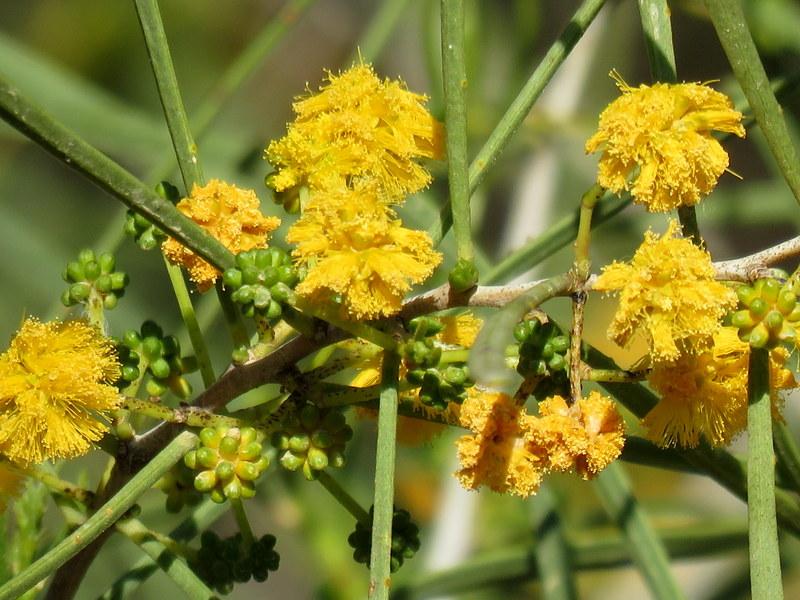 Acacia nematophylla_IMG_6801