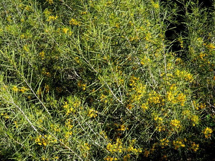 Acacia nematophylla_IMG_6823-001