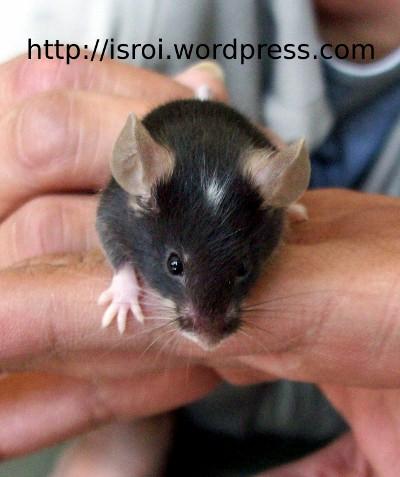 tikus eksotik kelapa belang putih