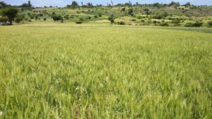 Analysis of wheat yield gaps in Ethiopia – Agronomy for Sustainable Development blog