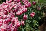 istanbul_tulip_festival_lale (2)