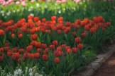 istanbul_tulip_festival_lale (5)