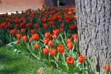 istanbul_tulip_festival_lale (9)