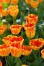 istanbul_tulip_festival_2011_03_26-4