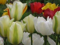 istanbul_tulip_festival_eleka_rugam_rebane-12