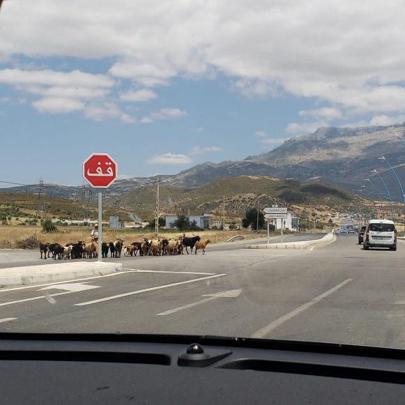 Morocco road and cows traffic
