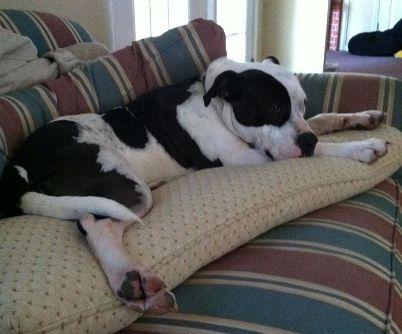 clara pit bull stabbed at petsmart