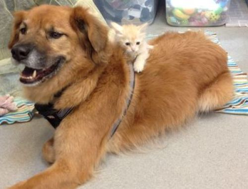 boots dog nanny for shelter kittens