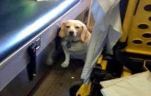 beagle takes ride on ambulance carrying dog dad