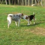 Blind Beagle and His Seeing-Eye Sister Need Forever Home Together