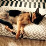 Chained German Shepherd Who Chewed off Foot Has Loving New Forever Home