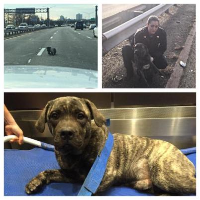 injured pit bull rescued by NYPD officers on highway