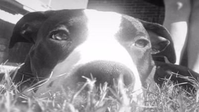 diesel dog shot in houston dog park