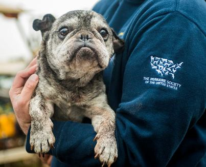 hsus rescues french bulldog from hog-dog fighting operation