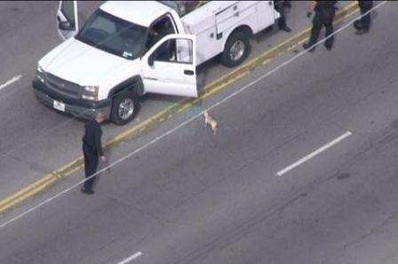dog in car chase jumps back into truck
