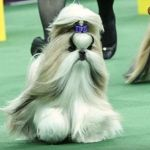 Patty Hearst's Shih Tzu Rocket Wins Westminster Toy Group